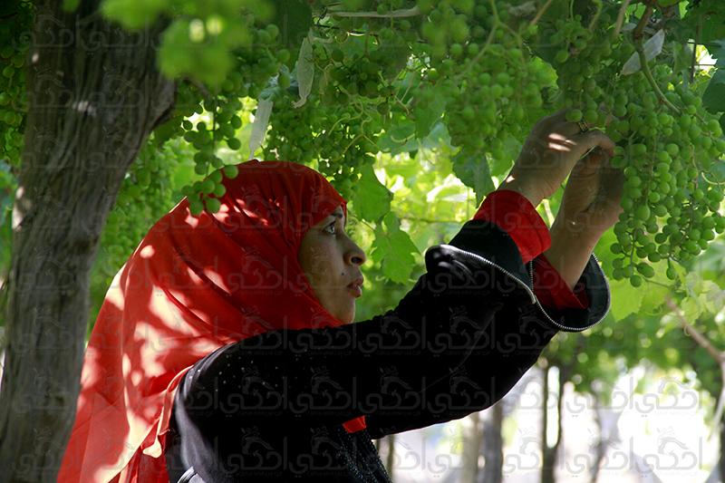 تحت أشجار العنب تنمو أحلامها
