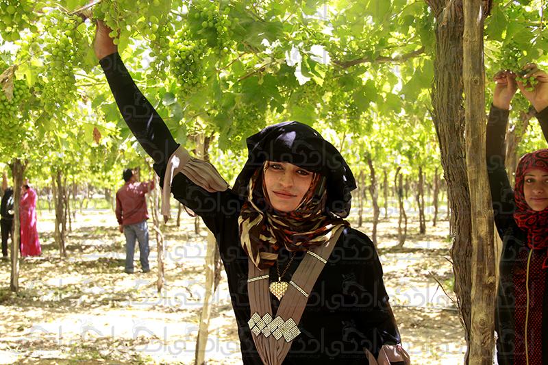 """""""عبير"""" تجمع الفاكهة وتقطف العنب باليومية من أجل لقمة حلال !"""