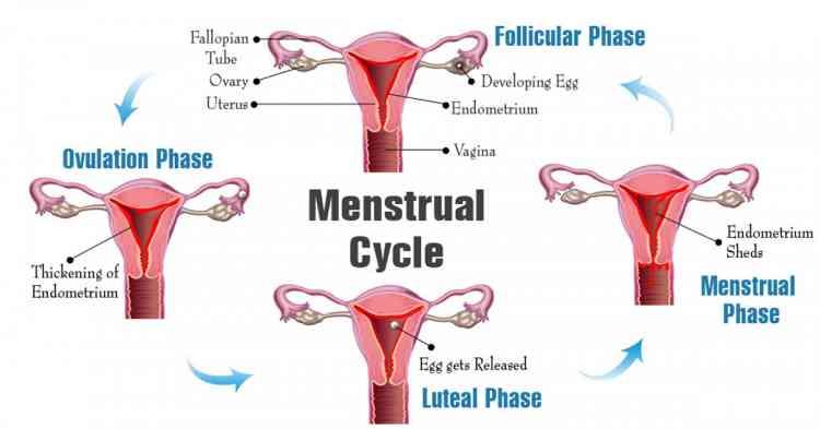 مراحل حدوث الدورة الشهرية